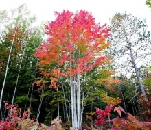 Magnificent Maple