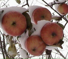 Snow covers the last of the apples