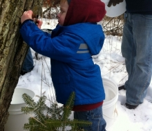 Tapping Maple Trees for Sap