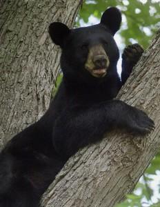 Black Bear Michelle Sobek