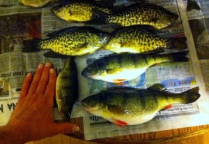 Spring fishing at Fletcher Floodwaters brought in some nice perch and crappie