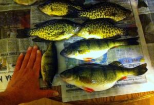 Ice Fishing Perch and Crappie from Fletcher Floodwaters